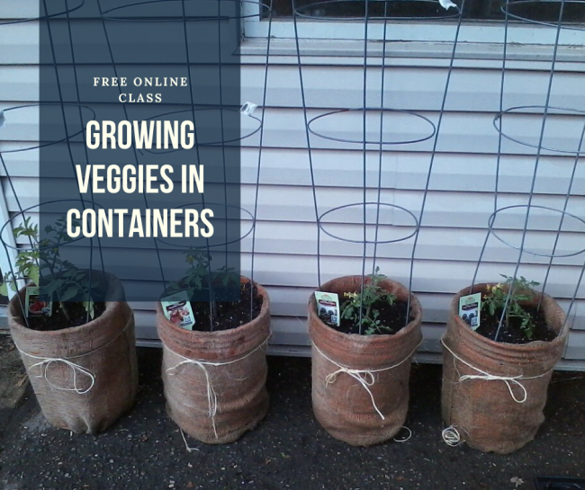 "Picture of 4 buckets with tomato plants growing in the buckets. Picture is overlaid with words"" Free Online Class: Growing Veggies in Containers""."