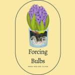Cartoon hyacinth bulbs blooming. Text says Forcing Bulbs. Free Online Class.