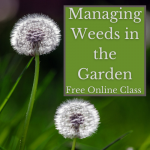 Managing Weeds in the Garden. Free online class. Image includes two dandelions.